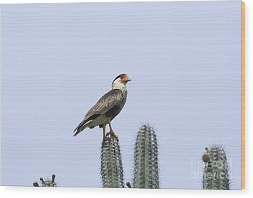 Wood Print featuring the photograph Southern Crested-caracara Polyborus Plancus by David Millenheft
