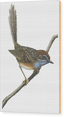 Southern Emu Wren Wood Print by Anonymous