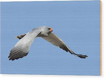Southern Pale Chanting Goshawk In Flight Wood Print by Johan Swanepoel