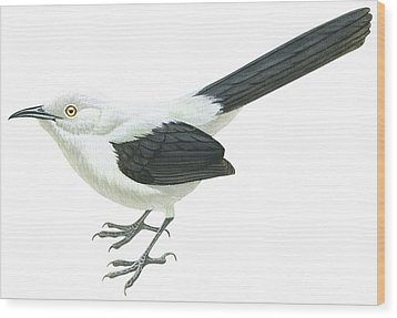 Southern Pied Babbler  Wood Print by Anonymous