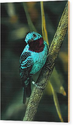 Wood Print featuring the painting Spangled Cotinga Turquoise Bird by Tracie Kaska