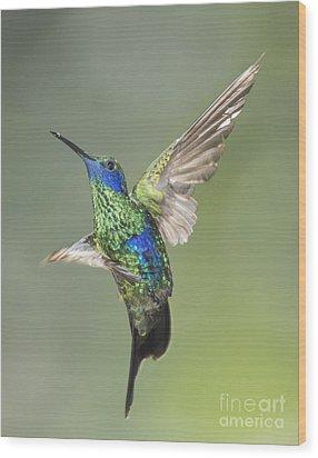 Wood Print featuring the photograph Sparkling Violet-ear Hummingbird by Dan Suzio