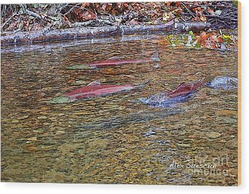 Spawning Sockeyes Wood Print by Alex Suescun