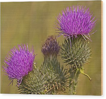 Spear Thistle Wood Print by Paul Scoullar