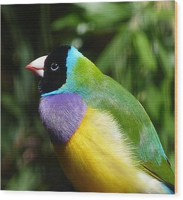 Spectacular Gouldian Finch Wood Print