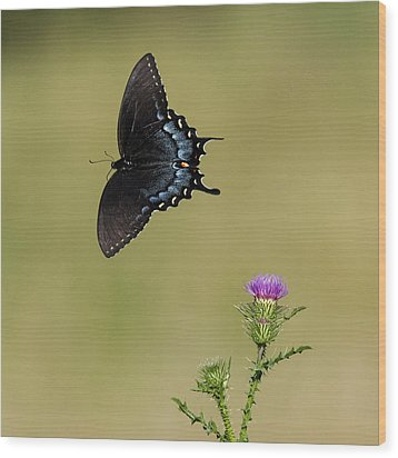 Spicebush Swallowtail 2 Wood Print by David Lester
