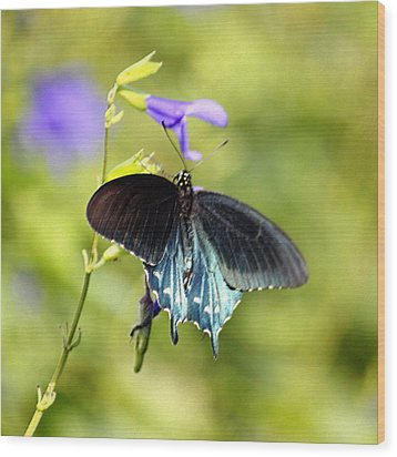 Spicebush Swallowtail Butterfly In Pastel Wood Print by Suzanne Gaff
