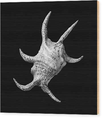 Spider Conch Seashell Wood Print by Jim Hughes