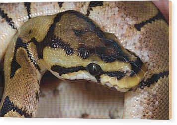 Spider Royal Python Wood Print