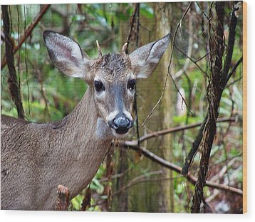 Spike Buck Whitetail Portrait Wood Print