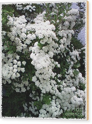 Wood Print featuring the photograph Spirea Bridal Veil by Barbara Griffin