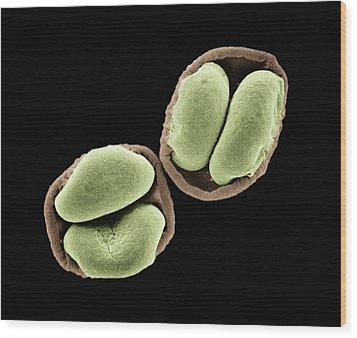 Spirke Pollen Sem 700x Wood Print by Albert Lleal