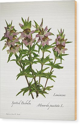 Spotted Beebalm 1 Wood Print