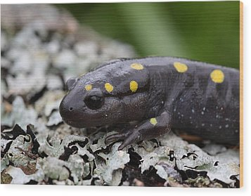Spotted Salamander Wood Print by Bruce J Robinson