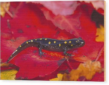 Spotted Salamander Wood Print by Paul J. Fusco