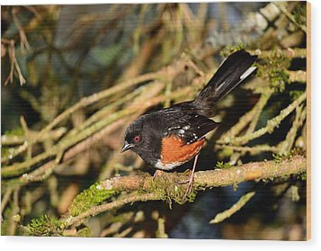 Spotted Towhee Wood Print by Kathy King