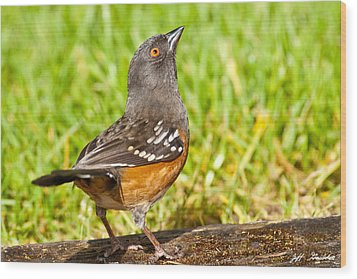 Spotted Towhee Looking Up Wood Print by Jeff Goulden
