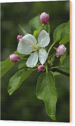 Spring Apple Blossom Encircled By Pink Buds Wood Print by Gene Walls