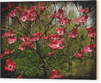 Wood Print featuring the photograph Pink Spring Dogwood Blooms  by James C Thomas