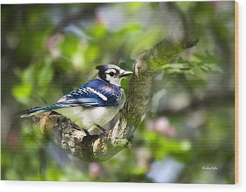 Spring Blue Jay Wood Print by Christina Rollo