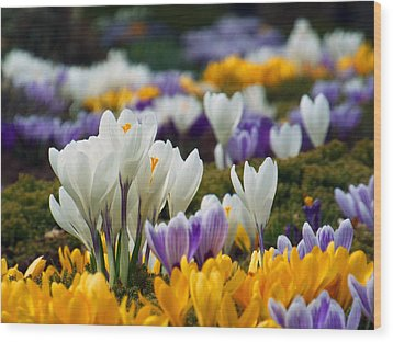 Wood Print featuring the photograph Spring Crocus by Dianne Cowen