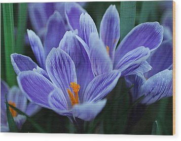Wood Print featuring the photograph Spring Crocus by Julie Andel