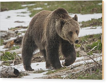 Wood Print featuring the photograph Spring Grizzly Bear by Jack Bell