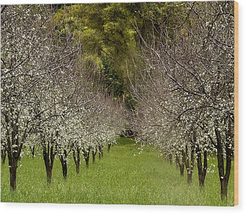 Spring Has Sprung Wood Print by Bill Gallagher
