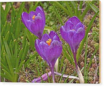 Spring Has Sprung Crocus Flowers Wood Print by Valerie Garner