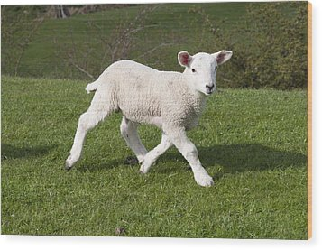 Wood Print featuring the photograph Spring Lamb by David Isaacson