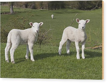 Wood Print featuring the photograph Spring Lambs by David Isaacson