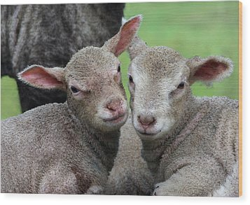 Spring Lambs Wood Print by Pete Hemington