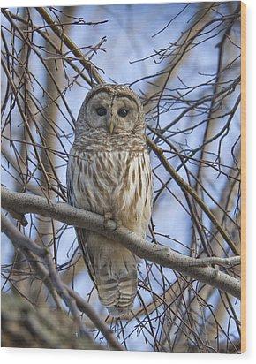 Spring Owl Wood Print by Timothy McIntyre