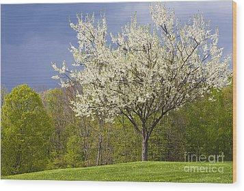 Springtime Blossoms Wood Print