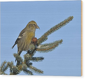 Spruce Cone Feeder Wood Print by Tony Beck
