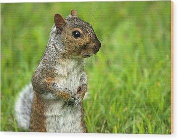 Squirrel Pose Wood Print by Karol Livote