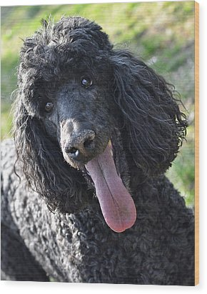 Standard Poodle Wood Print by Lisa Phillips