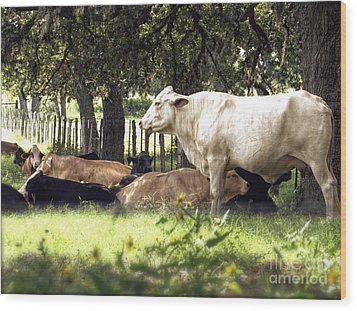 Standing Watch Cattle Photographic Art Print Wood Print by Ella Kaye Dickey