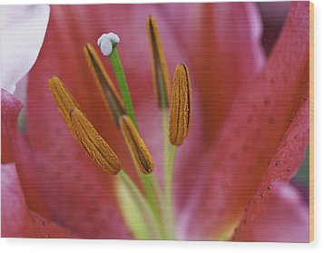 Star Gazer Lilly Macro Wood Print by Lesley Rigg