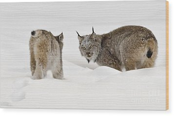 Staredown Wood Print by Dee Cresswell