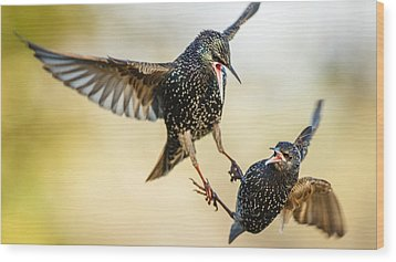 Starling Aerial Battle Wood Print by Izzy Standbridge