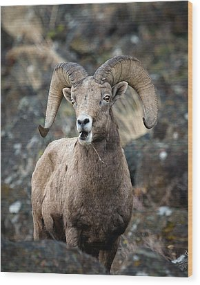 Wood Print featuring the photograph Startled Ram by Steve McKinzie