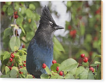 Steller's Jay And Red Berries Wood Print