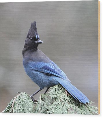 Steller's Jay Wood Print by Angie Vogel