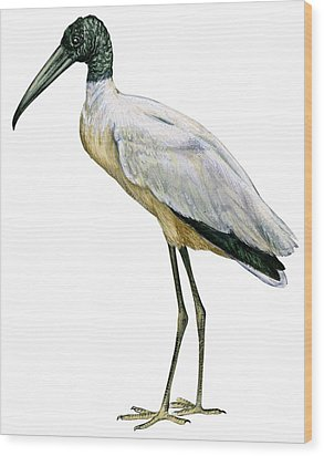 Stork Wood Print by Anonymous