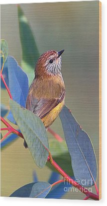 Striated Thornbill Wood Print by Bill  Robinson