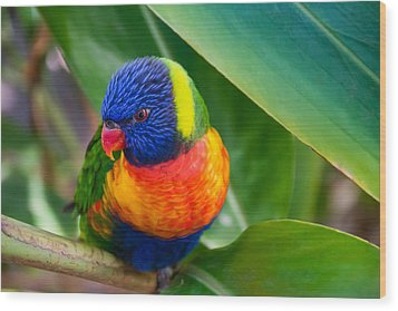 Striking Rainbow Lorakeet Wood Print by Penny Lisowski