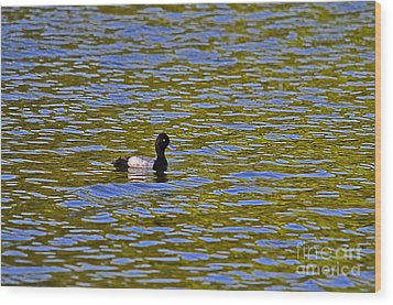 Striking Scaup Wood Print by Al Powell Photography USA