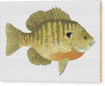 Wood Print featuring the painting Study Of A Bluegill Sunfish by Thom Glace