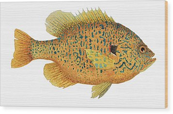 Study Of A Male Pumpkinseed Sunfish In Spawning Brilliance Wood Print